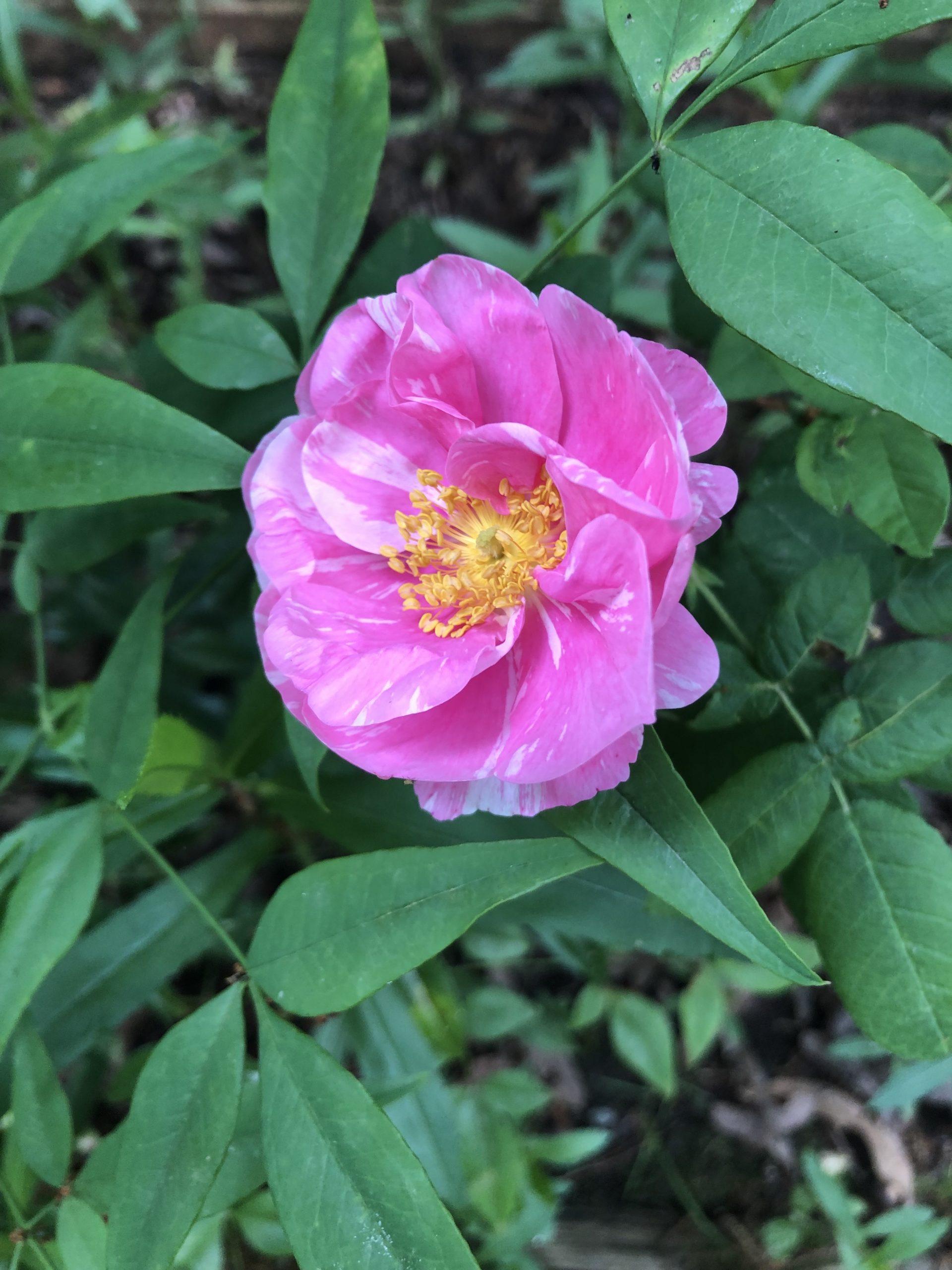 Rosa Mundi (Gallica)